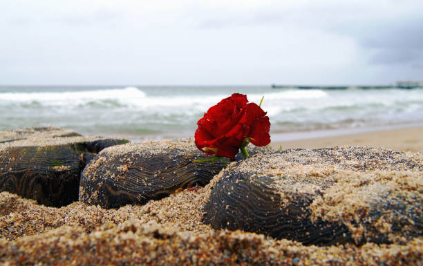 Funeral flower, lonely red rose flower at the beach, water background with copy space, burial at see. Empty place for a text. Funeral symbol. Mood and Condolence card concept. mourning stock pictures, royalty-free photos & images