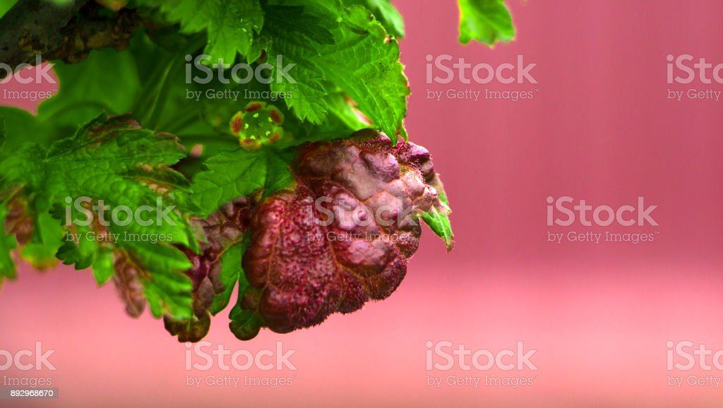 fungal disease leaves anthracnose currants close-up stock photo