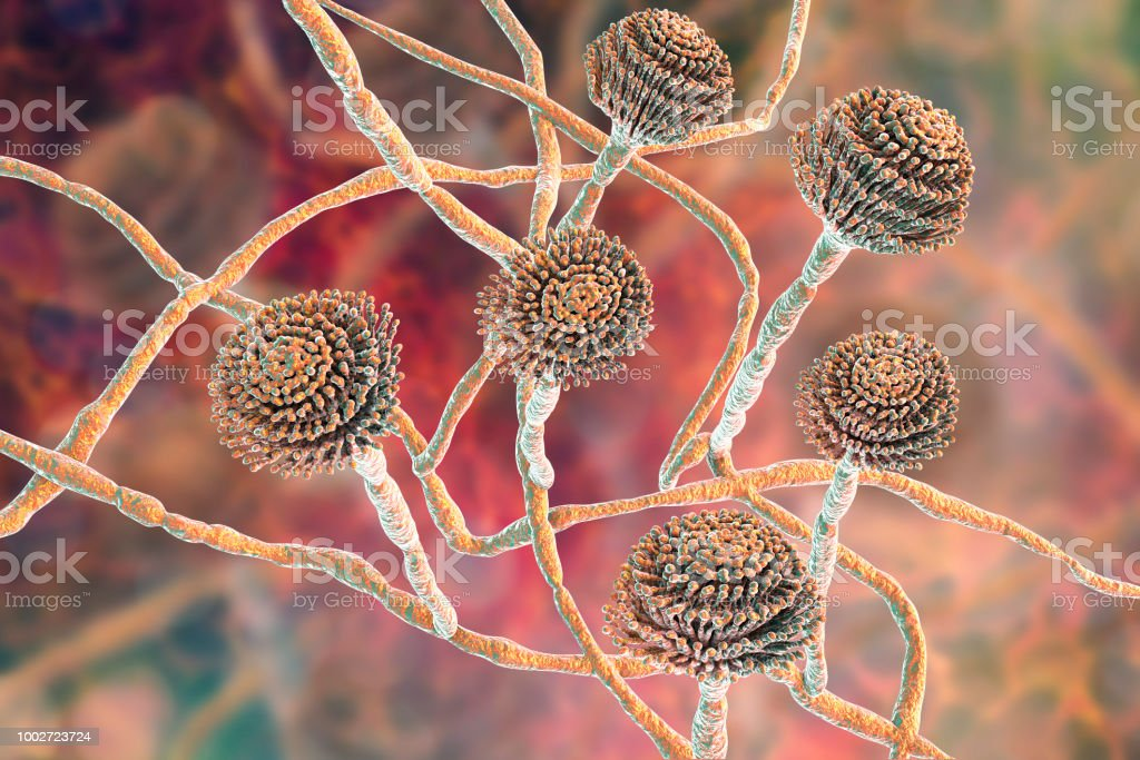 Fungi Aspergillus, black mold stock photo