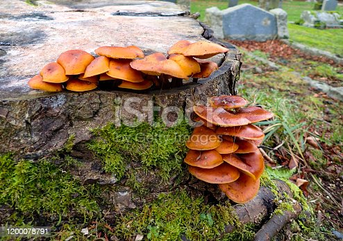 Cumbrian tree stump with orange fungi growing out of the stump with moss in Alston Cemetery.