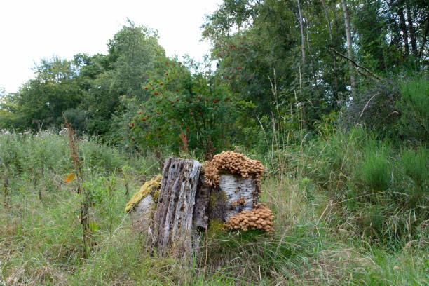 Fungi on tree stump from path stock photo