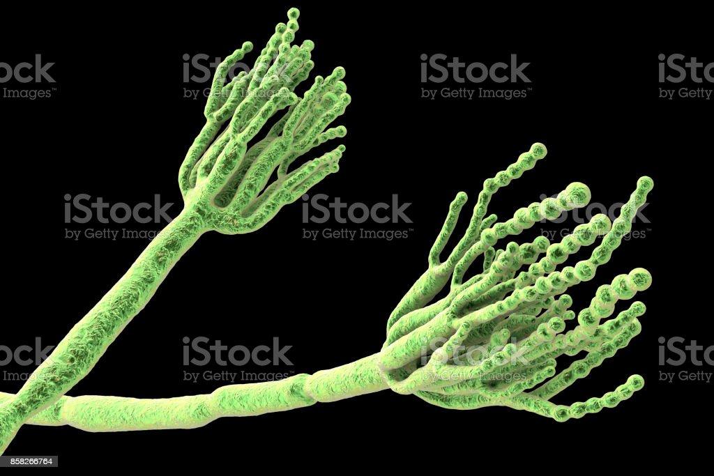 Risultati immagini per penicillium roqueforti