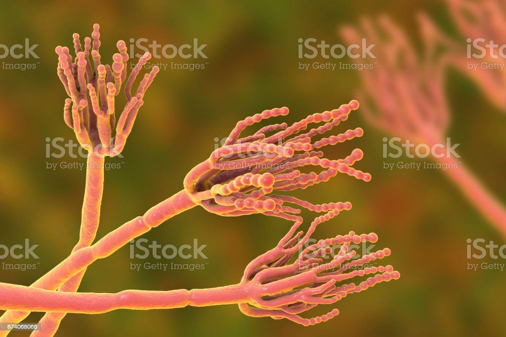Fungi Penicillium which cause food spoilage and are used for production of the first antibiotic penicillin stock photo