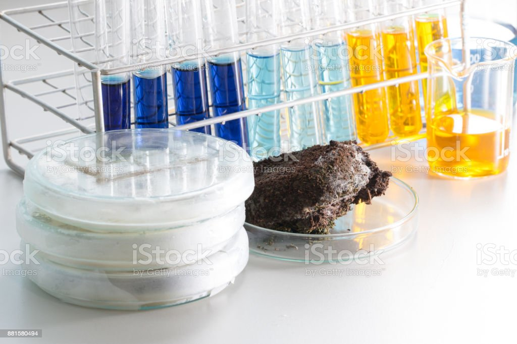 Fungus in Coffee grounds for Microbiology in laboratories. stock photo