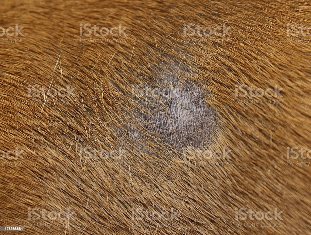 fungus infection on dog stock photo