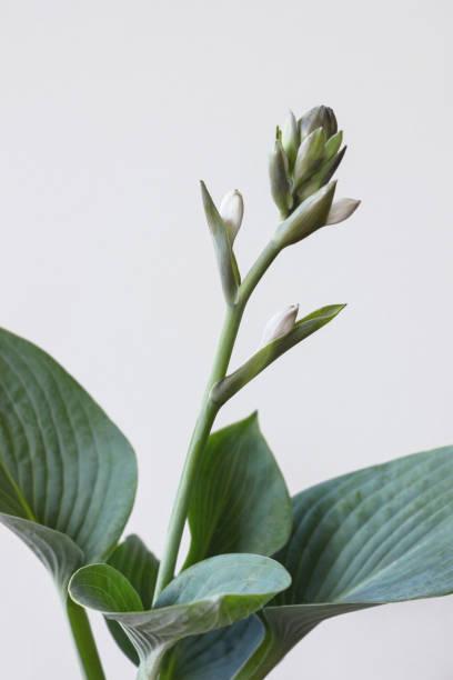 Funkia sina (Hosta sieboldiana) Pflanze mit Blume auf weißem Hintergrund – Foto