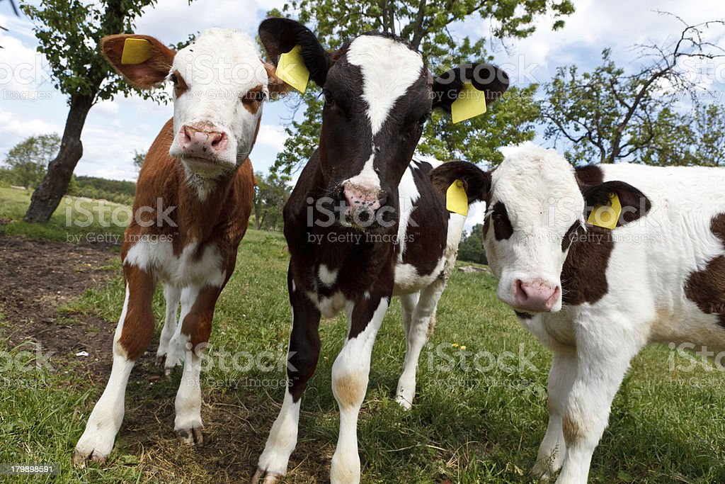 Funky curious cows stock photo