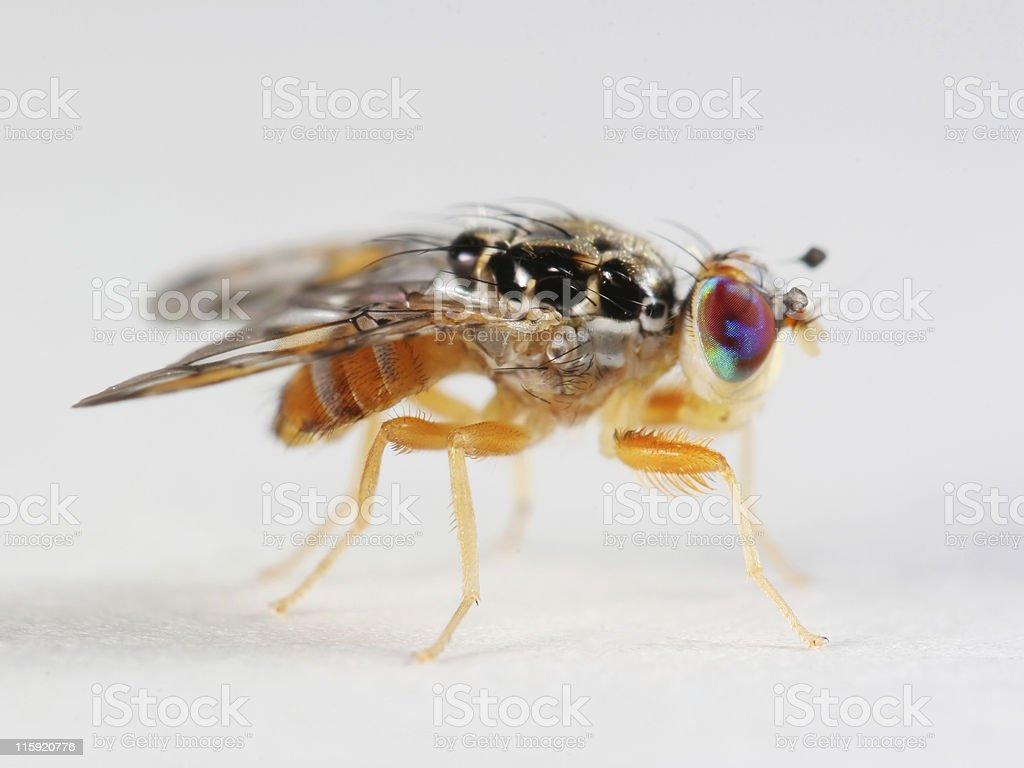 Funky fruit fly 01 stock photo