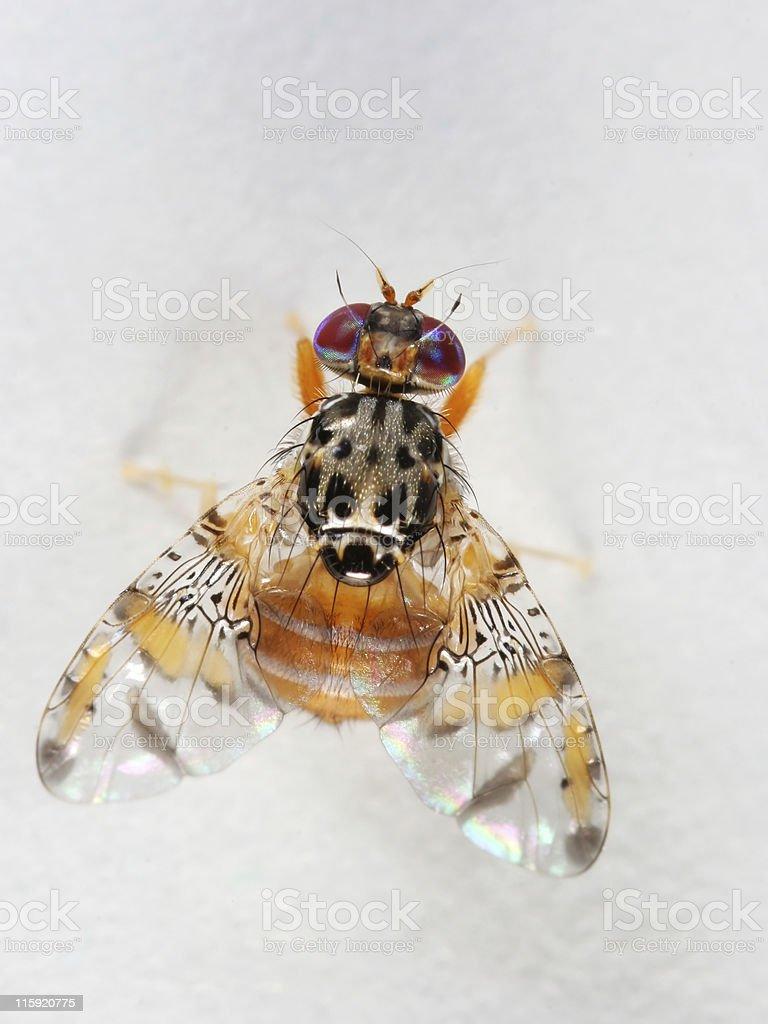 Funky fruit fly 02 stock photo