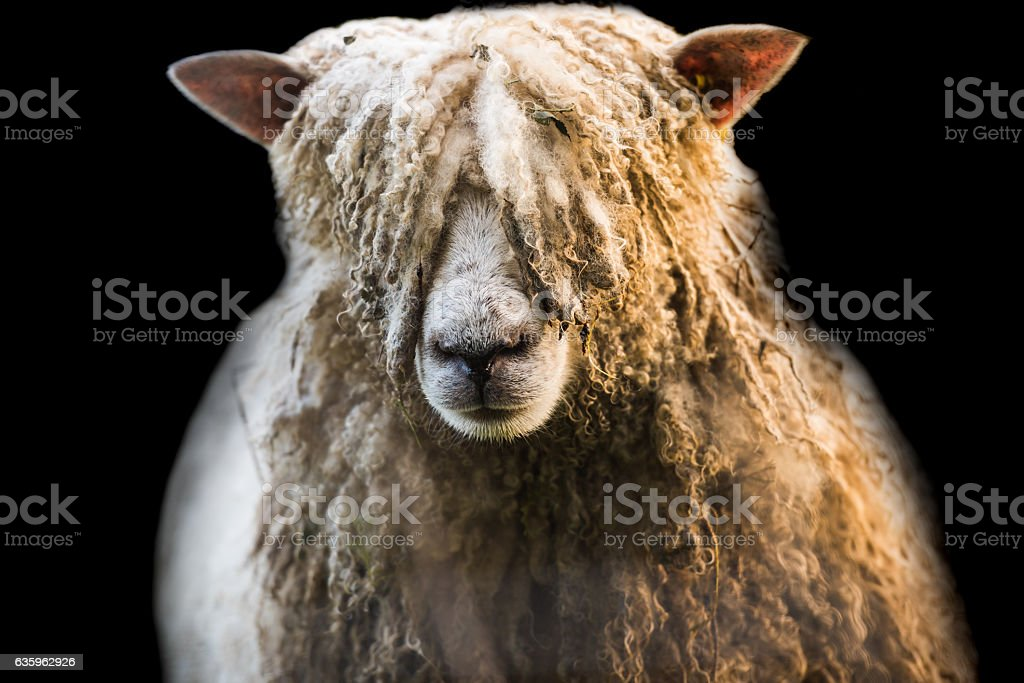 Funky haircut sheep on isolated on black stock photo