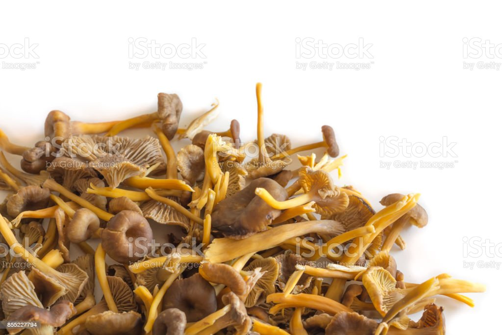 Funnel Chanterelle stock photo