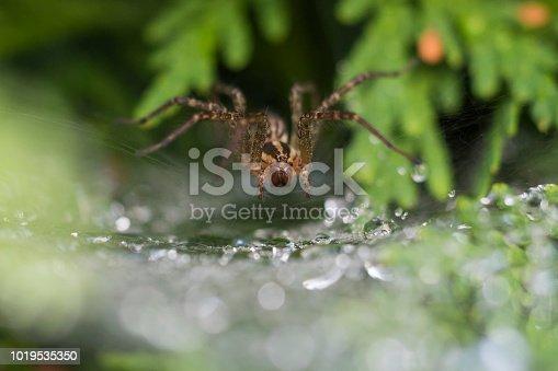 Funnel Weaver Spider in morning dew