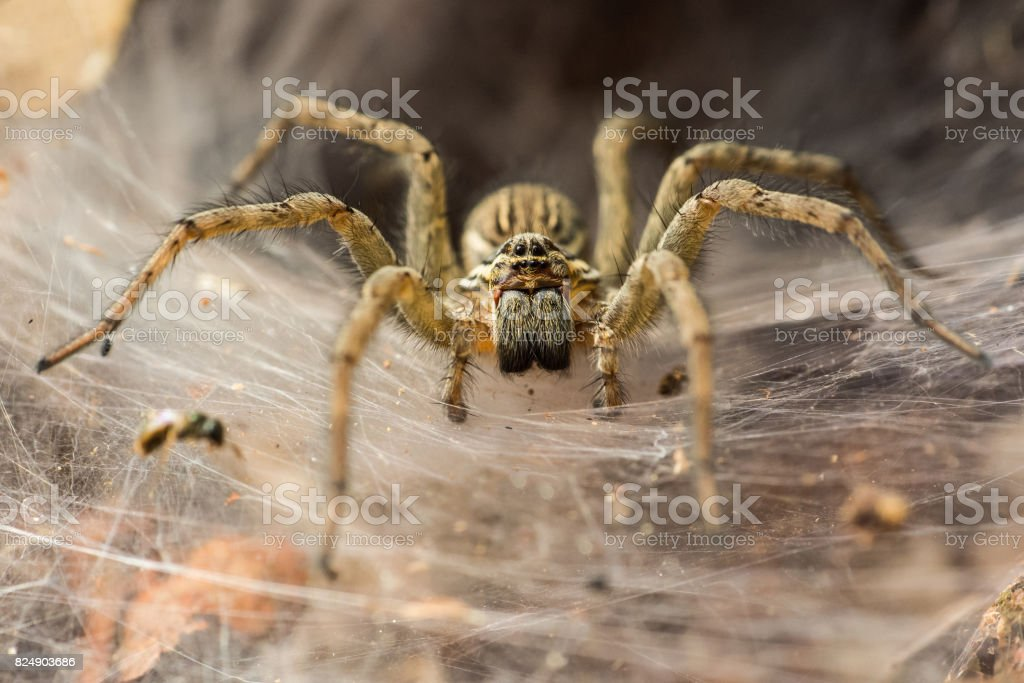 Funnel_Spider stock photo
