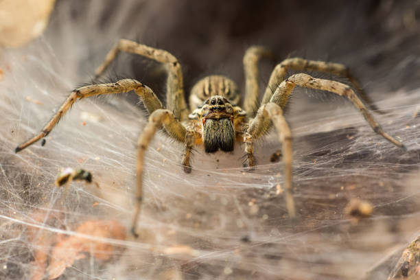 funnel_spider - araignée photos et images de collection