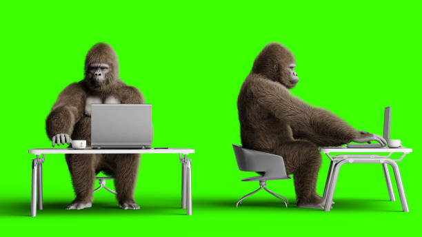 Funny 3d brown gorilla works behind a computer. Super realistic fur and hair. Green screen. 3d rendering. stock photo