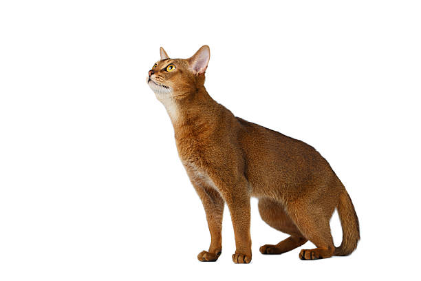 Funny abyssinian cat sitting and looking up isolated on white picture id513894360?b=1&k=6&m=513894360&s=612x612&w=0&h=socdp3vwtsaeyhv0jv9wpekrzdv0amxcwaplwzesuac=