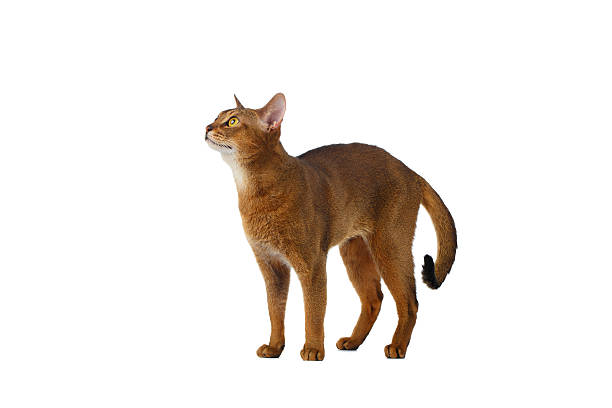 Funny abyssinian cat standing and looking up isolated on white picture id513894402?b=1&k=6&m=513894402&s=612x612&w=0&h=i2ssm0qvelxvci0hum7ubmtbfvlmce4m5yfsnsldsiu=