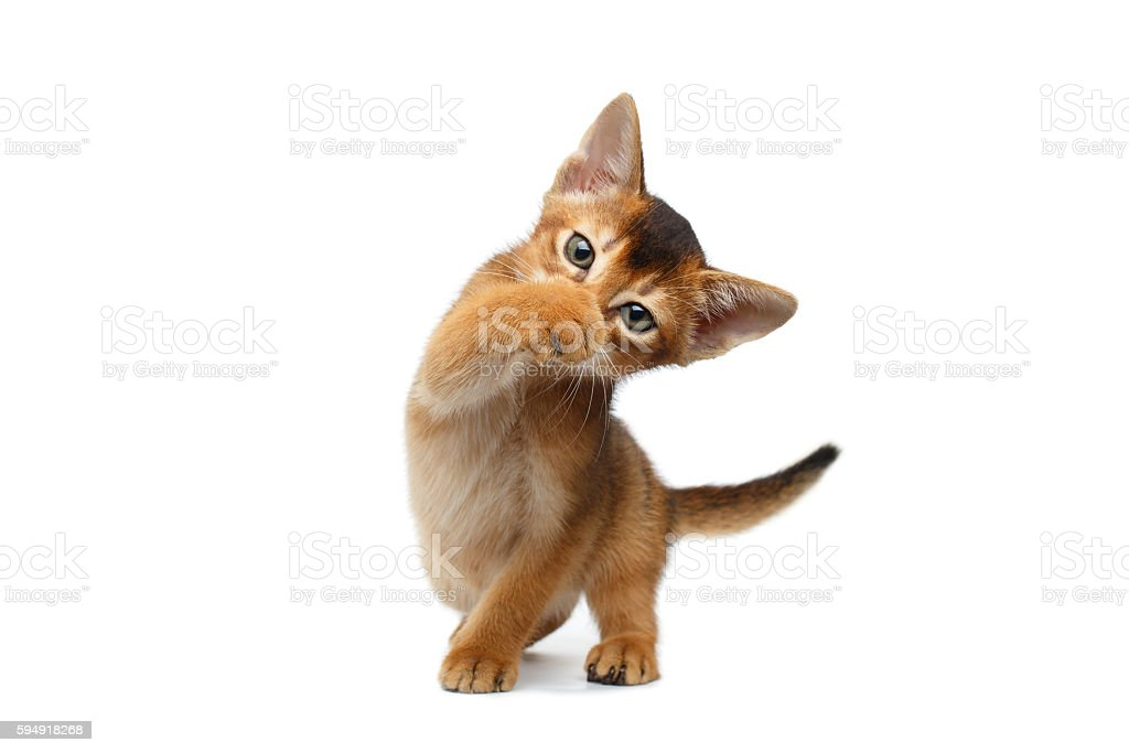 Funny Abyssinian Kitty Close paw his nose, Isolated White Background stock photo