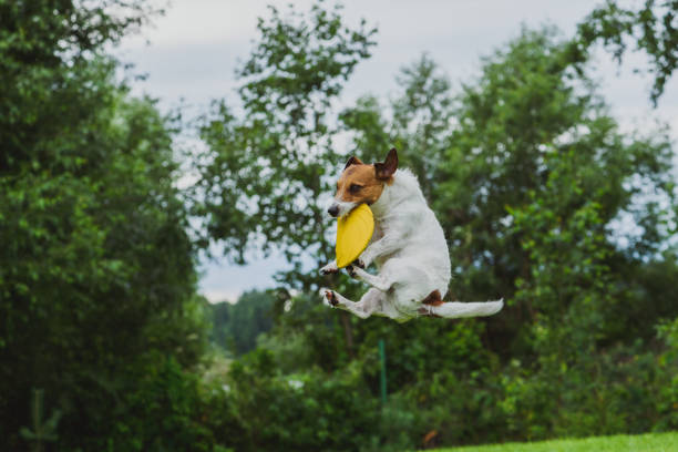 Crabot actif drôle sautant et attrapant le jouet dans l'air - Photo