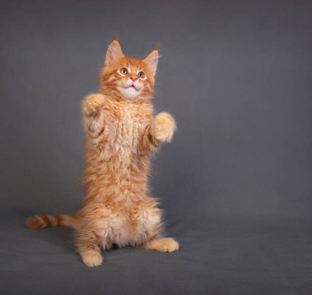 Funny adorable red solid maine coon kitten standing on two back feet with beautiful brushes on the ears on grey background and looking up. stock photo