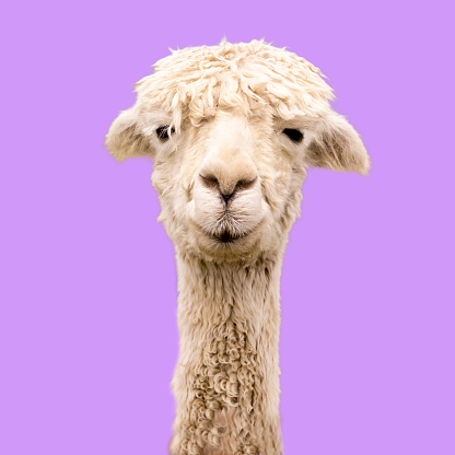 Funny alpaca on purple background