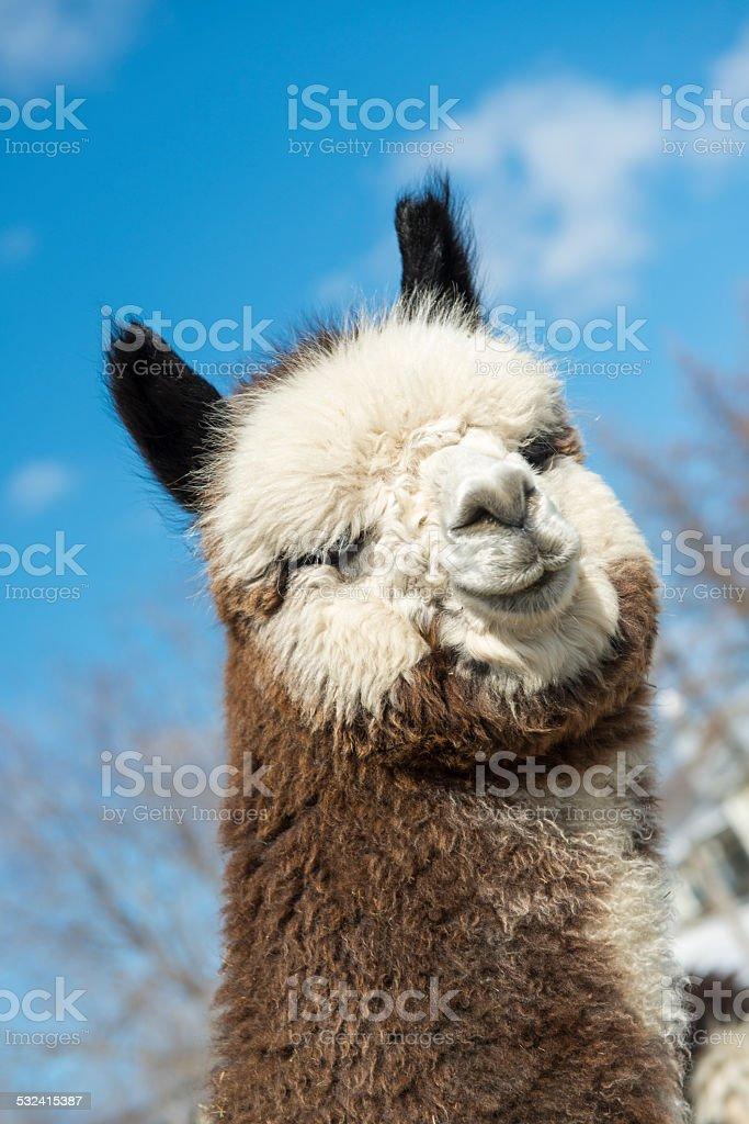 Funny alpaca stock photo