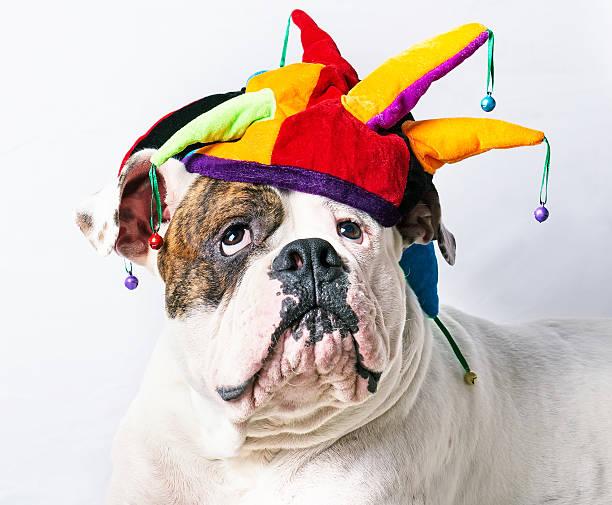 lustiger american bulldog - coole halloween kostüme stock-fotos und bilder