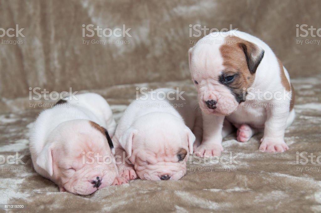 Funny American Bulldog puppies stock photo