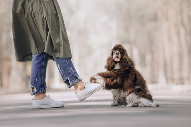 funny american cocker spaniel dog puts paw on owner foot outdoors funny cocker spaniel dog gives paw to owner outdoors protruding stock pictures, royalty-free photos & images