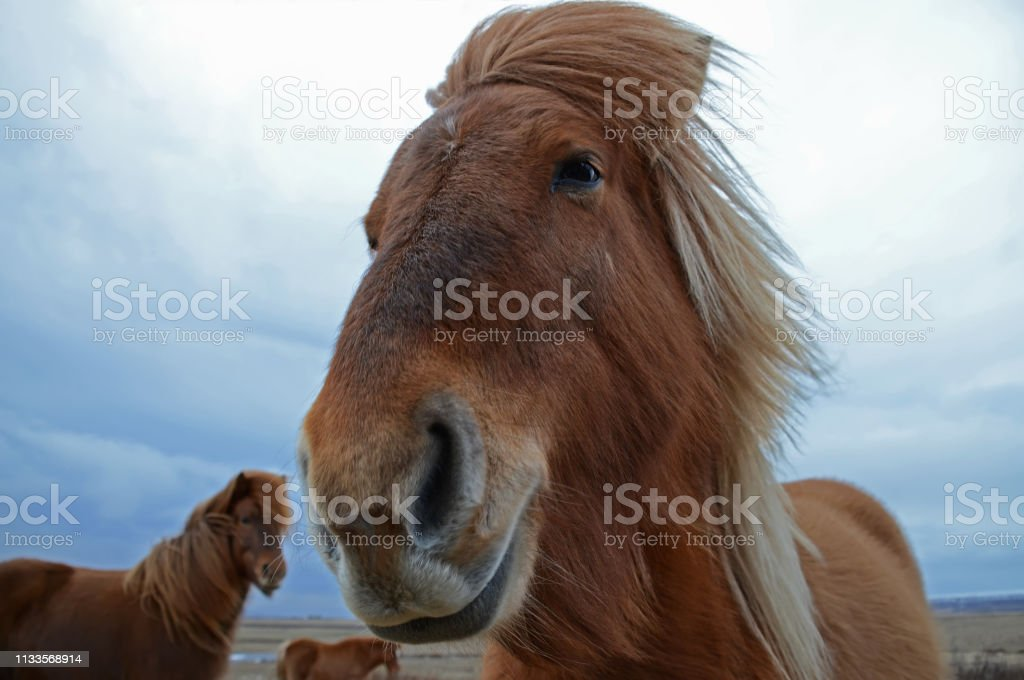 The cheesy brown woolen head of an Icelandic horse, the dark blue...