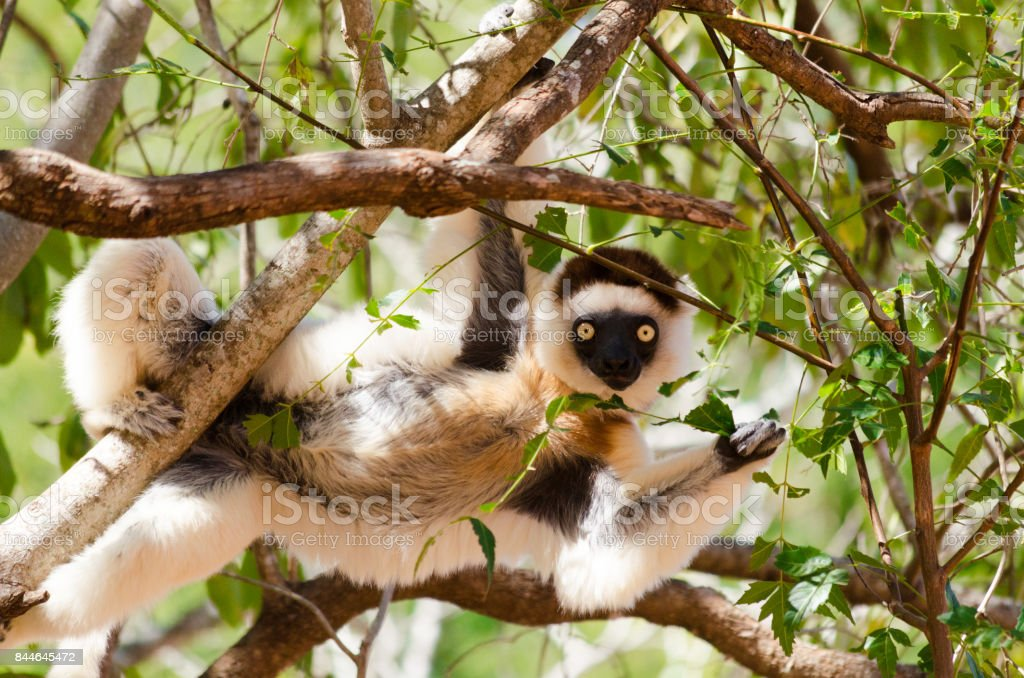 Funny and curious sifaka, Propithecus verreauxi, in the wild Berenty reserve, Madagascar stock photo