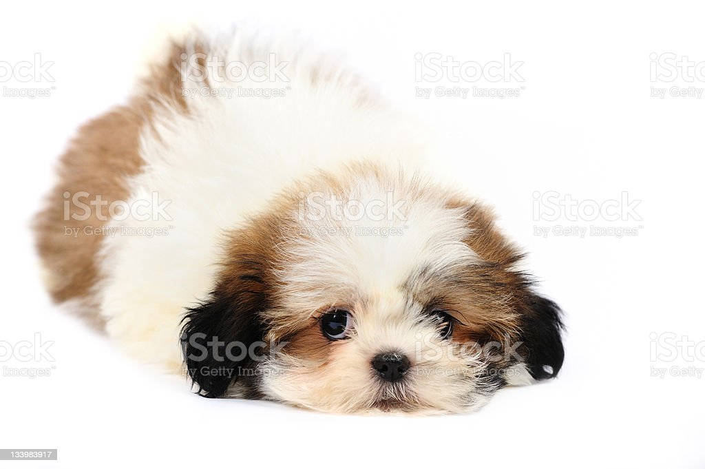 Funny And Cute Shih Tzu Puppy Stock Photo Download Image Now Istock
