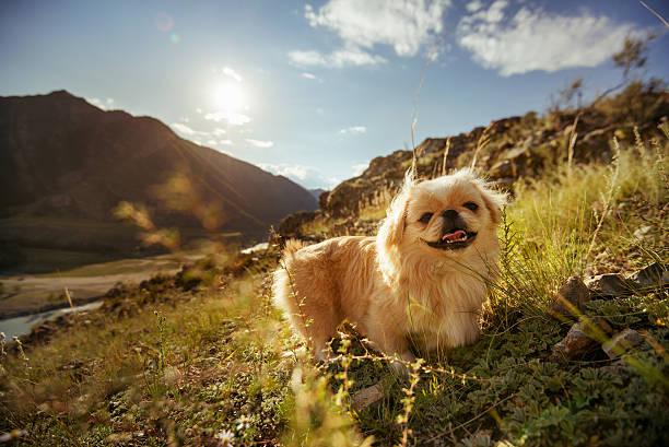 funny animal dog pekingese mountains - altai nature reserve stockfoto's en -beelden