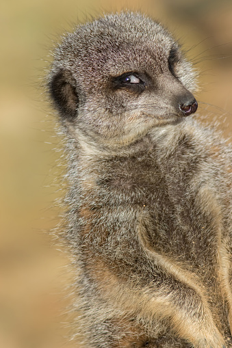 Funny animal meme image of photogenic narcissistic meerkat smiling for the camera. Camera-friendly face of cute vain animal posing. Flirting expression of self-confidence. Happy photobombing.