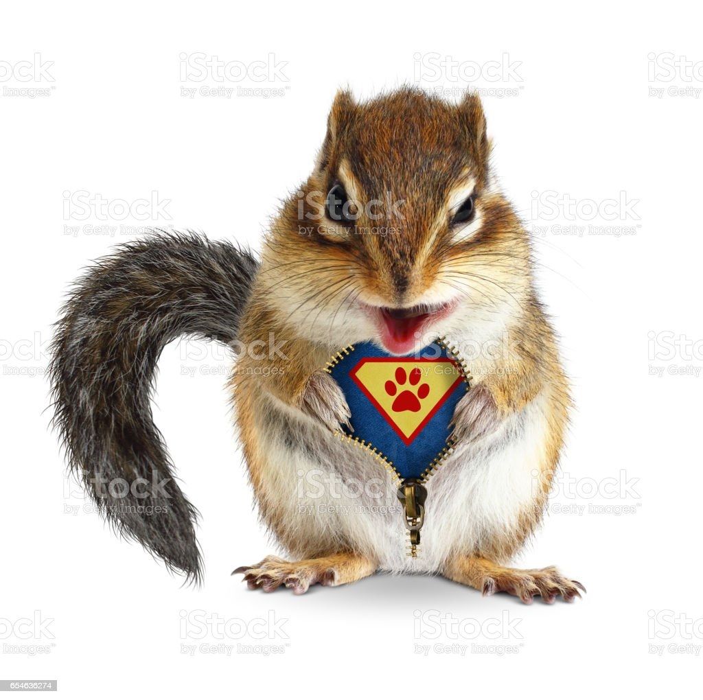 Funny animal super hero, squirrel unbuckle his fur, isolated on white stock photo