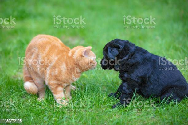 Funny animals little black puppy and red kitten playing together on picture id1135272126?b=1&k=6&m=1135272126&s=612x612&h=z iikhse5kxoeyx0 qreoapw6wezsrtlaxoa0tzm ry=