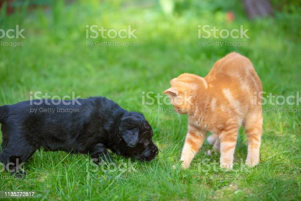 Funny animals little black puppy and red kitten playing together on picture id1135272817?b=1&k=6&m=1135272817&s=612x612&h=zw7yujgqriqfrg9rqdkhnlarejph81al xlqw9cv99c=