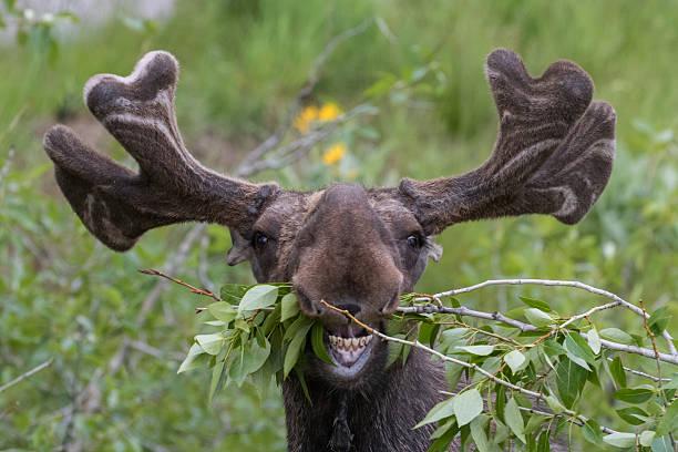 Funny awkward moose eating picture id502295596?b=1&k=6&m=502295596&s=612x612&w=0&h=ns42gzby8kho5mzjr7zpbolwcrq37thf2nl00jwxeks=