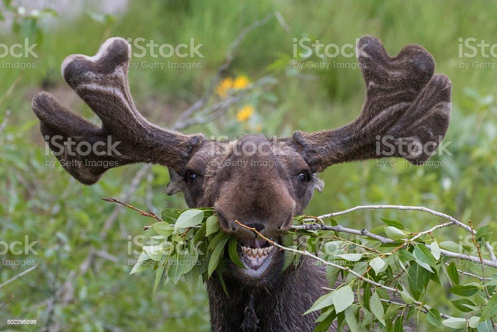 Lustiger unhandliche moose Essen – Foto