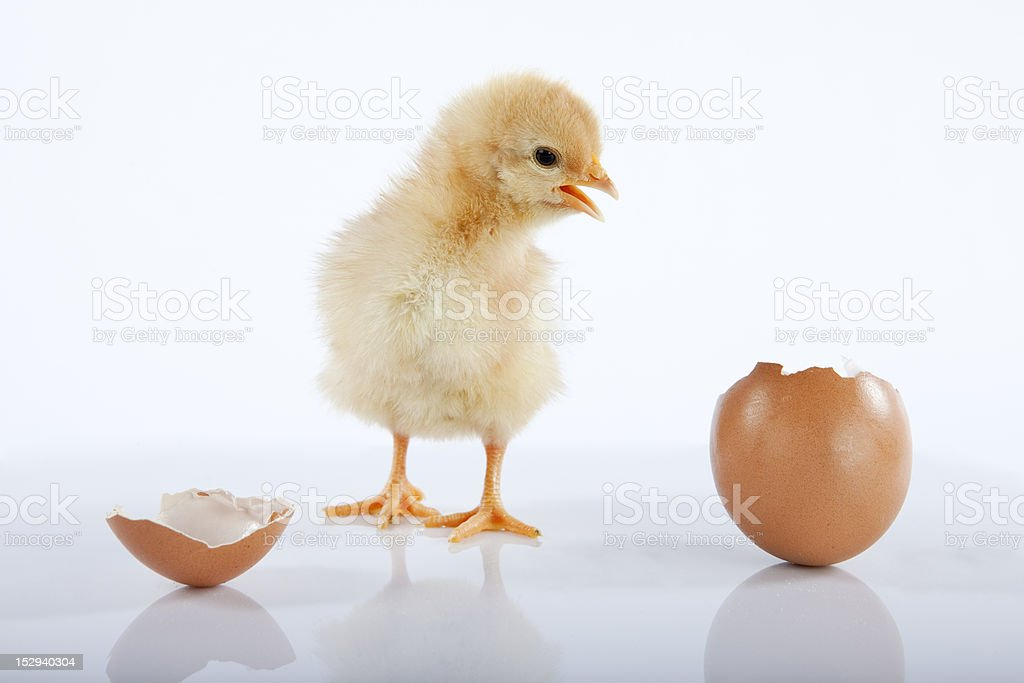Funny baby chick talking to an empty egg royalty-free stock photo