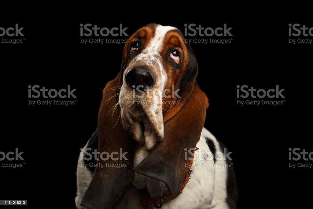 Funny Basset Hound On Isolated Black Background Stock Photo Download Image Now Istock