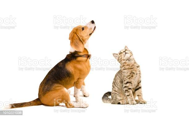 Funny beagle dog and a cat scottish straight picture id1010221038?b=1&k=6&m=1010221038&s=612x612&h=0xkaknuc0e8cojlg10 jxxpw0o3g eyai8vfr6o7fv0=