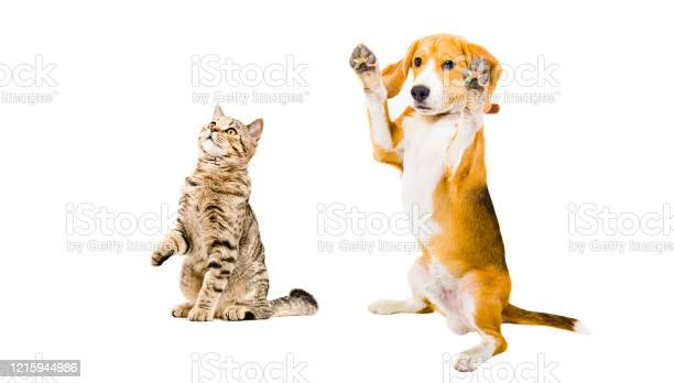 Funny beagle dog and cat scottish straight isolated on white picture id1215944986?b=1&k=6&m=1215944986&s=612x612&h=mqqmmcuvuu03vxty7qtb3fm iyj1lmevysfel4gvh6o=