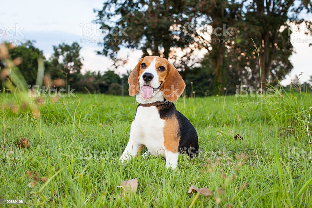 Funny Beagle Puppy Portrait Stock Photo Download Image Now Istock