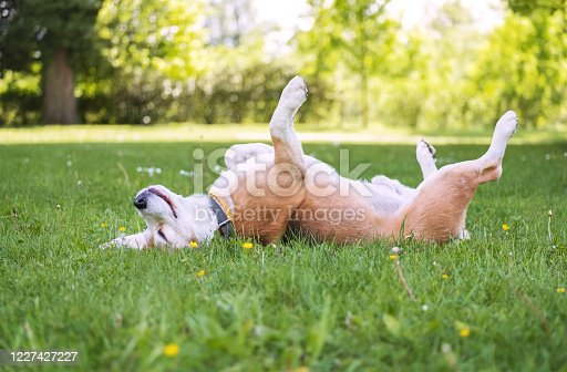 istock Funny beagle tricolor dog lying or sleeping Paws up on the spine on the city park green grass enjoying the life on the sunny summer day. Careless pets life concept image. 1227427227