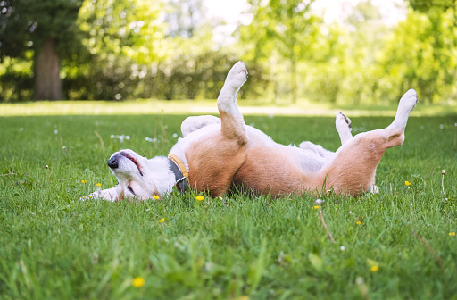 Funny beagle tricolor dog lying or sleeping Paws up on the spine on the city park green grass enjoying the life on the sunny summer day. Careless pets life concept image.