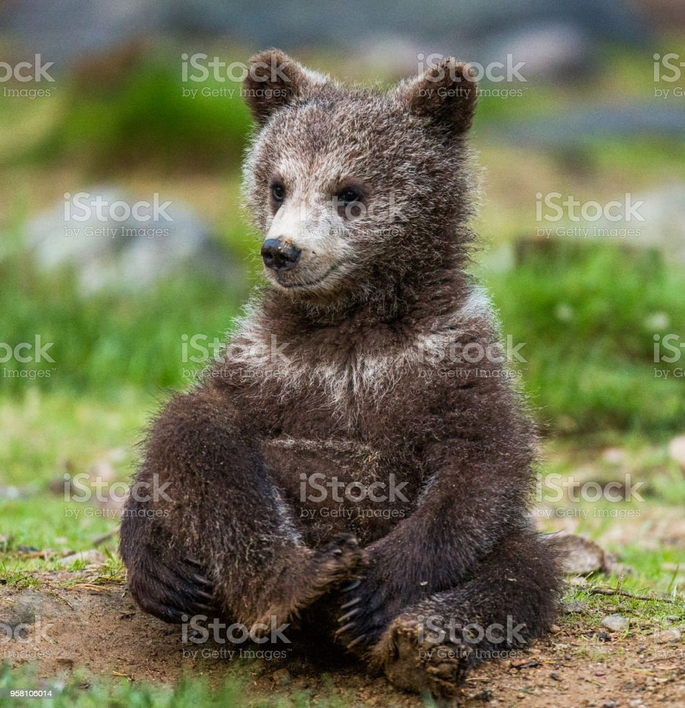 Funny bear cub sits on the ground in the forest. stock photo