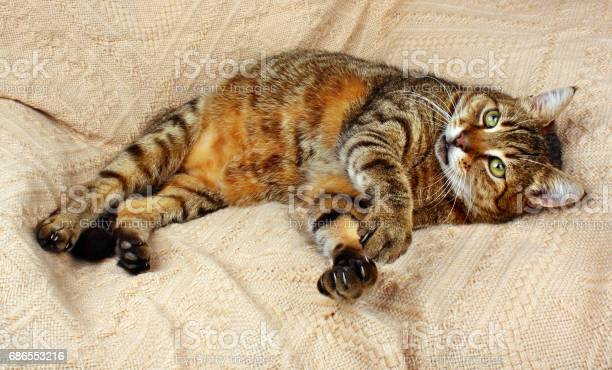 Funny beautiful cat looking and lying picture id686553216?b=1&k=6&m=686553216&s=612x612&h=ji9e vctgtwumrkoxg6gda zx h2d20guaowvveuwtk=
