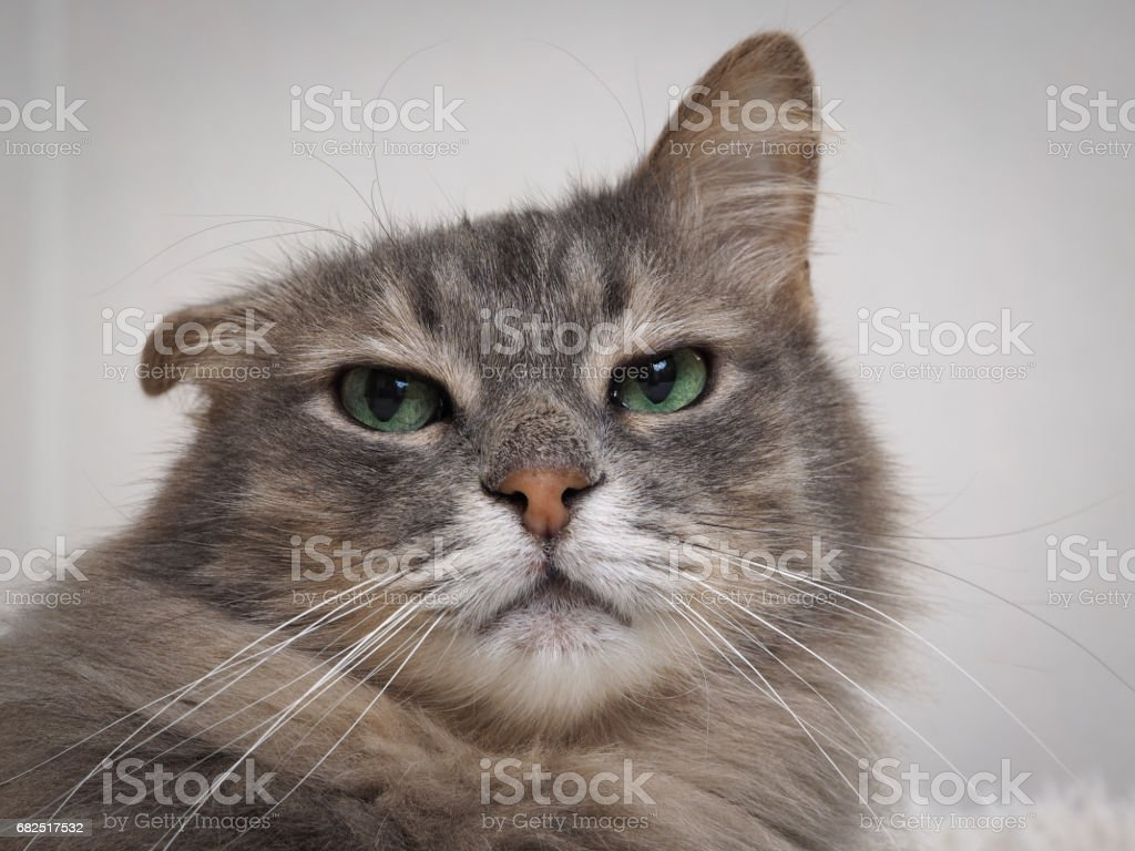 Funny big cat with drooping ear and green eyes royalty-free stock photo