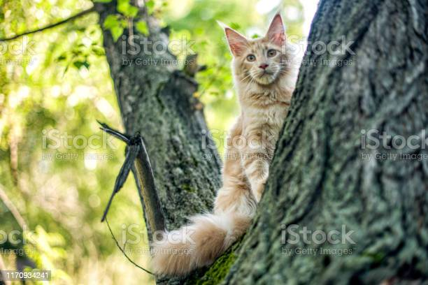 Funny big maine coon kitten sitting on a tree picture id1170934241?b=1&k=6&m=1170934241&s=612x612&h=kin8aptxkl8lomk h 2eg snl7vnyftllturpfszina=